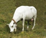 1-35-Cow-standing
