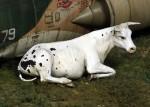 1-35-Cow-lying-down