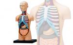4D-Human-Anatomy-Torso-Model