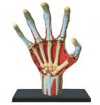 4D-Human-Anatomy-Hand-Model