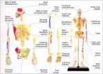 4D-Human-Anatomy-Skeleton-Model