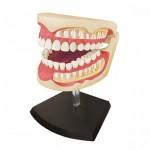 1-1-4D-VISION-Dental-Anatomy-Model
