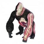 4D-VISION-Gorilla-Anatomy-Model
