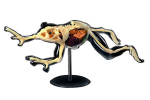 4D-Vision-Frog-Full-Skeleton-Model