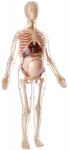 56cm-Visible-Pregnant-Female-Body-Anatomy-Kit