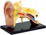 Human-Body-Model-Series-Ear-7-7cm