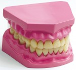 Human-Body-Model-Series-Oral-Cavity-Model-Tooth