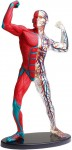 Human-Body-Model-Series-Posing-Human-Body-Muscles-and-Blood-Vessels-19cm