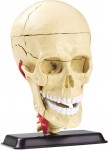 Human-Body-Model-Series-Skull-9cm