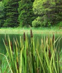 1-35-Bulrush-Orobinec-Bulrush