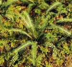 1-72-1-87-Tropical-ferns-Tropicke-kapradi