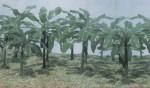 1-72-Banana-Trees