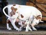 54mm-Farm-animals-n-6-Cow-and-Calf