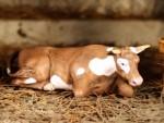 54mm-Farm-animals-n-7-Cow-in-the-barn