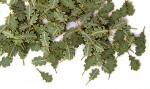 1-35-Green-leaves-oak-Zelene-listi-dub