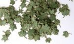 1-35-Green-leaves-maple-Zelene-listi-javor
