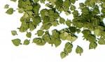 1-35-Green-leaves-linden-Zelene-listi-lipa