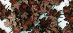 1-35-Maple-leaves-extra-colors-Listi-javoru-extra-barvy