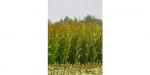 1-35-Corn-plants-maize-green-50-pcs-plastic