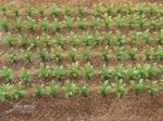 1-35-SUGAR-BEET-PLANTS-25psc