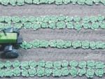 1-87-Geen-cabbage-plants