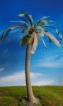 Coconut-Palm-1