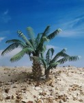 1-35-Young-Date-Palm-Set