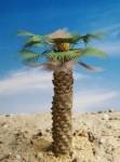 1-35-Thick-Desert-Fan-Palm