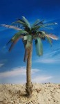 1-35-Partly-Untrimmed-Palm